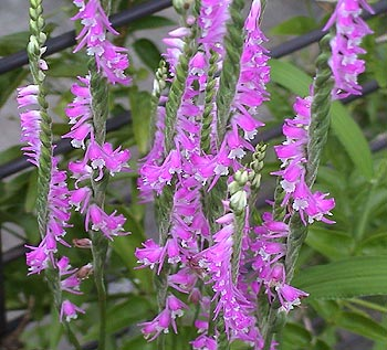090710spiranthes_4