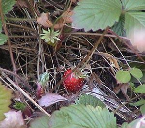 100203wildstrawberry