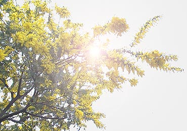 Mimosa100303
