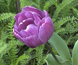 Tulip100419_1_2