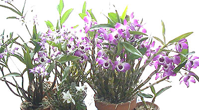 110210orchid