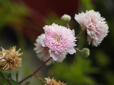 110701blackberrydoubleflower