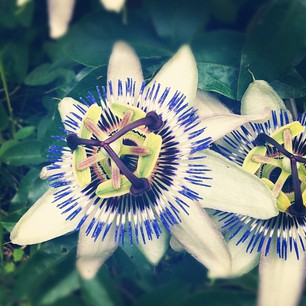 120613passionflower_2