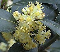 Laurelflower060422