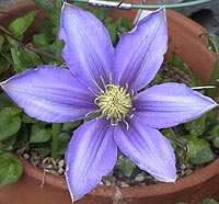 clematis_blueberrymilk050422