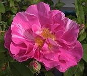 rosegallicaversicolor050517